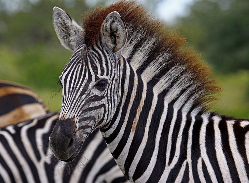 Young Zebra - Africa wildlife van W. Woyke