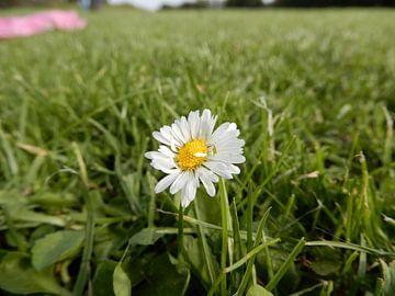 Madeliefje in het grasveld van Klaas Roos
