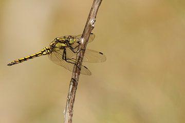 Libelle op tak von Arnold van der Horst