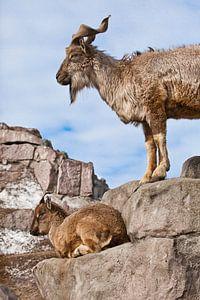Bergziege mit großen Hörnern steht auf einem Felsen, zu ihren Füßen ist ein junges Ziegenweibchen, b