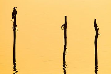 Aalscholver (Phalacrocorax carbo) in zit op een paal van AGAMI Photo Agency