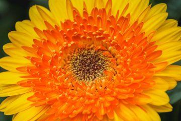 Dahlia kleur von Stedom Fotografie