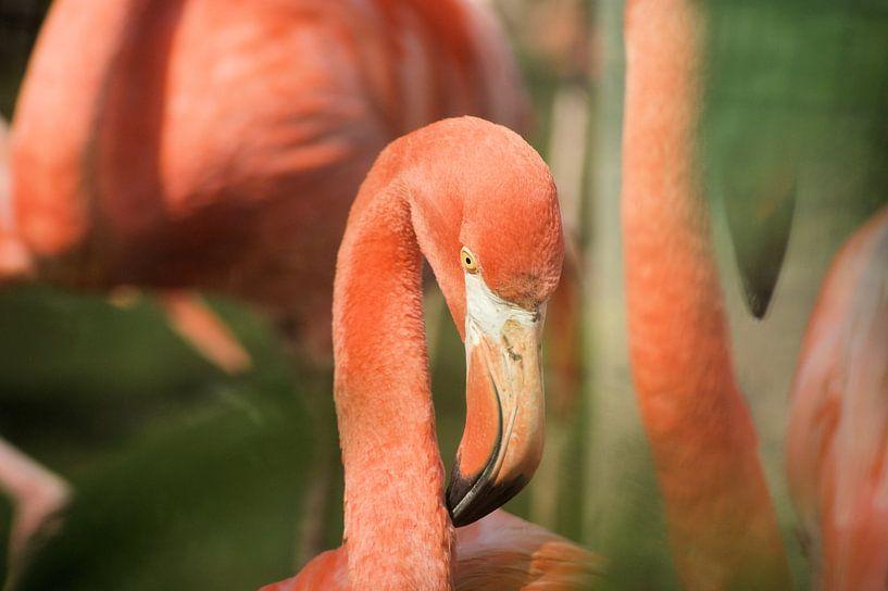flamingo van Paul Hinskens