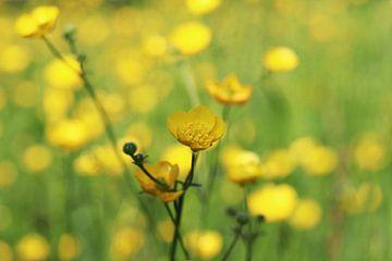 Boterbloemen von Jacqueline Holman