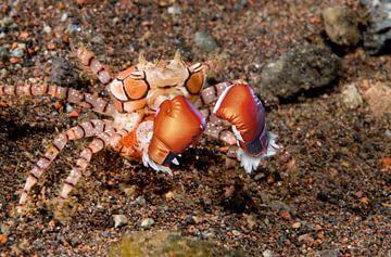 Boxer-crab-with-eggs_Lybia-tesselata van Dray van Beeck