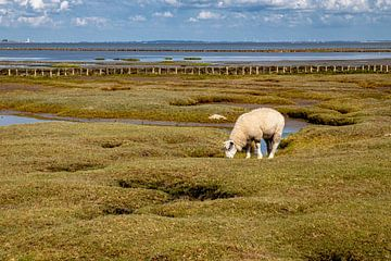 Lamm auf einer Salzwiese vor Tetenbüll von Alexander Wolff