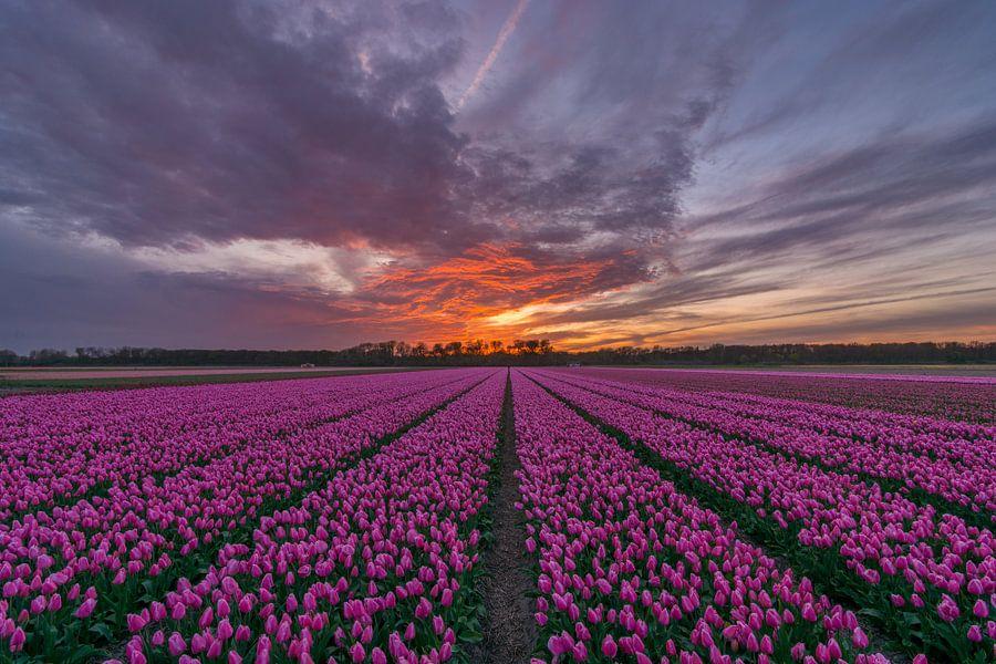 Schitterende zonsondergang bij een tulpenveld in Vogelenzang van Ardi Mulder