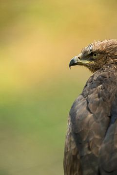 Bird of prey, heqad shot... Lesser Spotted Eagle *Aquila pomarina* van