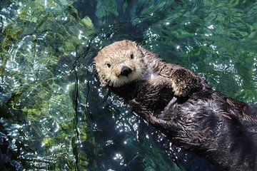 Sea Otter in Kanada von Jop Fotografie