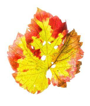 Druivenblad in de herfst 1 van Fionna Bottema