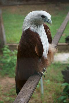 prachtige roofvogel van Bart Cornelis de Groot