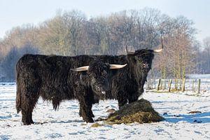 Twee zwarte schotse hooglanders in weiland met sneeuw in winter