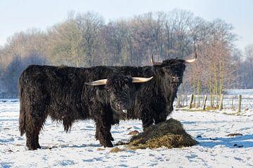 Twee zwarte schotse hooglanders in weiland met sneeuw in winter van Ben Schonewille