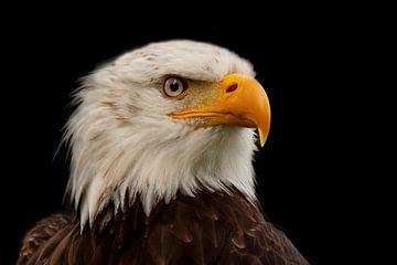 Pygargue à tête blanche, Bald Eagle. sur Gert Hilbink