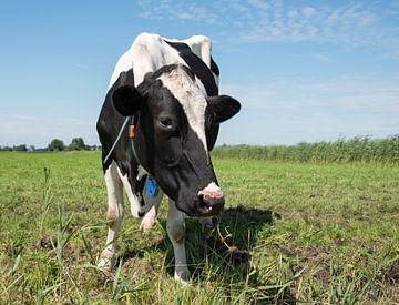 zwartbonte koe in een weiland van Compuinfoto .