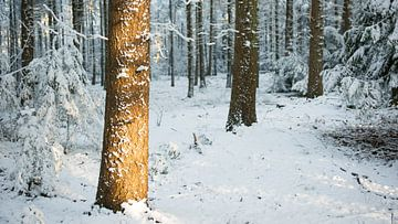 Winterzon in bos van