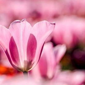 Tulpen uit Rotterdam van Frans Blok