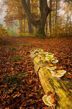 Les champignons d'arbres dans la forêt d'automne sur Denis Feiner