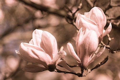 Sepia Tonung Blüte der Magnolie mit Bokeh im Frühling