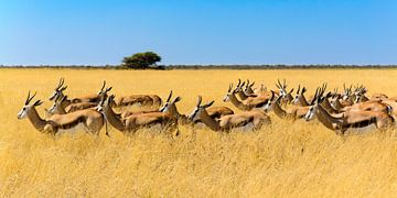 Kudde springbokken in savannegras van Denis Feiner