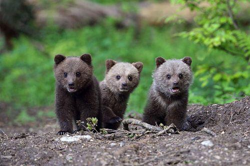 Drie jonge Bruine Beertjes kijken nieuwsgierig richting de camera