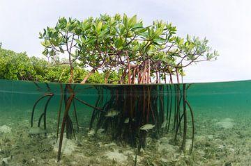 Mangroven van