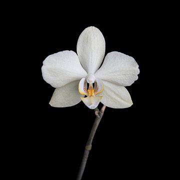 Weiße Orchidee von Ribbi The Artist