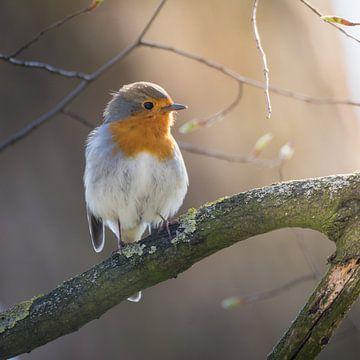Robin (Erithacus rubecula) in zacht zonlicht van Tobias Luxberg