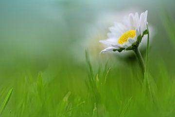 Bright beauty.... (Blume, Daisy) von Bob Daalder