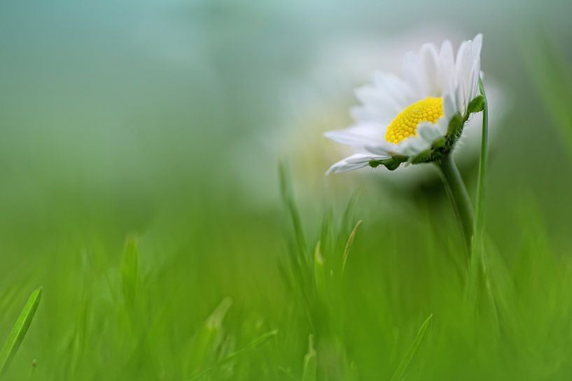 Bright beauty.... (bloem, madeliefje) van Bob Daalder