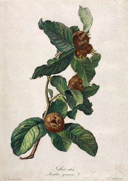 Medlar, Gerard van Spaendonck - ca. 1800 (gesehen in vtwonen) von Het Archief