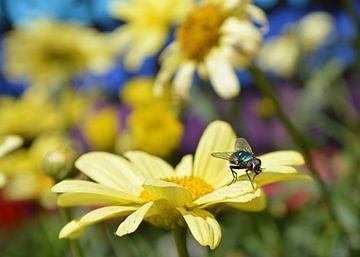 Fliege auf gelber Blume von Greta Lipman