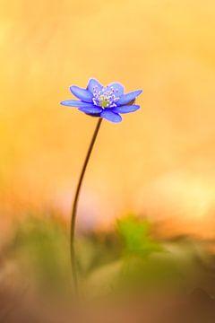 zartes Leberblümchen im warmen Frühlingslicht von Daniela Beyer