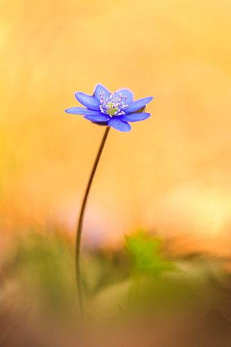 zartes Leberblümchen im warmen Frühlingslicht van Daniela Beyer
