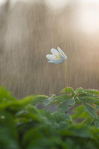 Bosanemoon in de regen