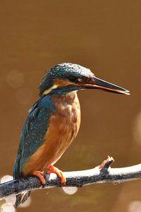 IJsvogel op tak oranje/bruine achtergrond met bokeh
