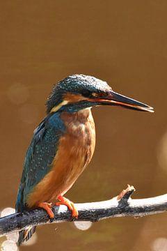 IJsvogel op tak oranje/bruine achtergrond met bokeh van Sascha van Dam