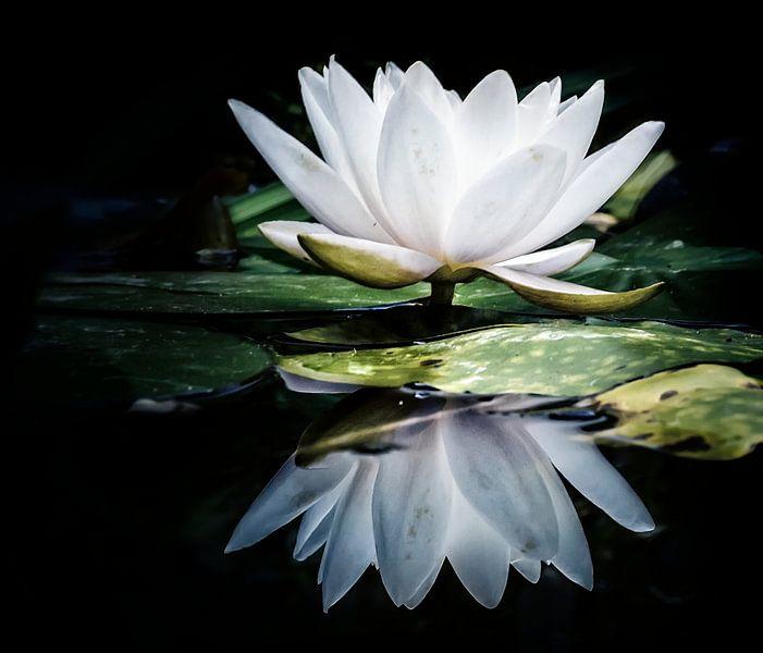 Reflectie van een witte waterlelie  van Yvon van der Wijk