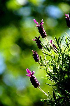 Lavendel van Bennie Eenkhoorn