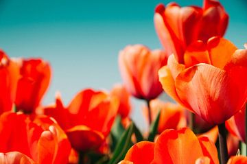 Tulpen II van Rob van der Post