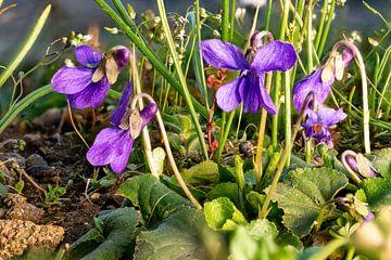 Macro-opname van maartse viooltjes in gras