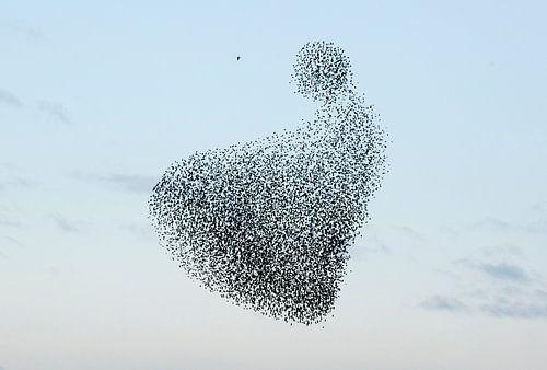 Zwerm spreeuwen van