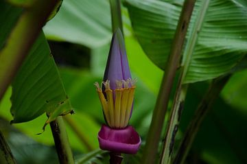 Schöne Blume im Blumengarten von Faial auf den Azoren. von Isai Meekers