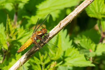 Prachtige Libelle in de Oostvaardersplassen van Merijn Loch
