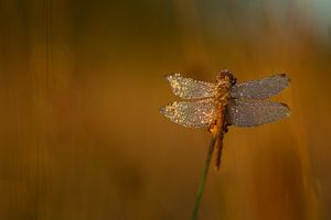 Dragonfly with dew