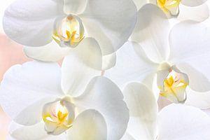 Witte gele orchideeën in bloei