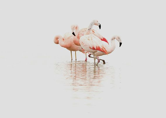 Flamingo van Incanto Images
