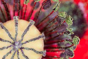 Rode papaver