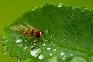 Syrphidae van Ursula Di Chito
