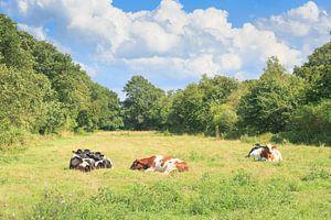 Een kudde rustende, herkouwende, melkkoeien in een kleinschalig landschap
